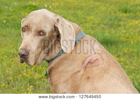 Weimaraner dog with a cut with stitches on his shoulder