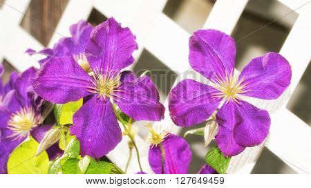 Large purple Clematis blooms growing against white lattice board in evening sun