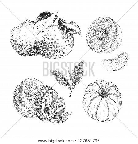 Vintage Ink hand drawn collection of citrus fruits sketch - lemon, tangerine, orange