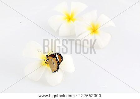 Butterfly on white frangipani flower - studio shoot