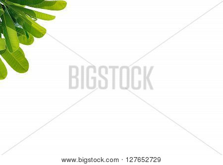 Leaves Plumeria Close Up Isolated On White Background