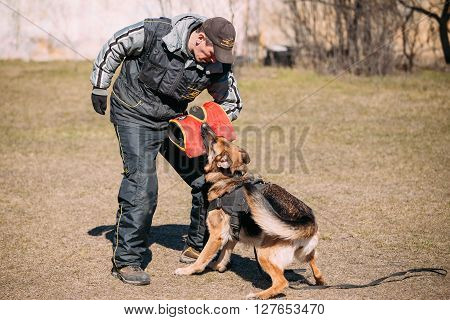 Gomel, Belarus - March 27, 2016: German shepherd dog training in Gomel Regional sports club and decorative dog-breeding. Biting Alsatian Wolf Dog.