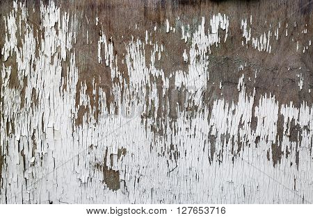 Abstract grunge background. Old weathered wooden texture with peeling white paint. Old peeling paint.