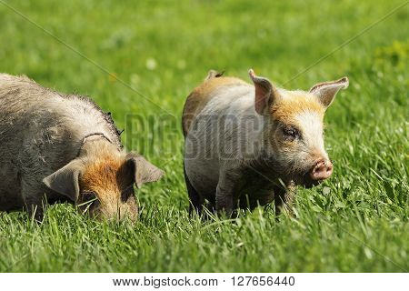 dirty feral pigs grazing on green lawn near the bio farm