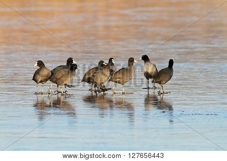 flock of common coots on icy lake ( Fulica atra )