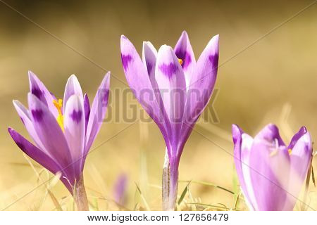 group of wild crocuses on mountain meadow ( Crocus sativus )
