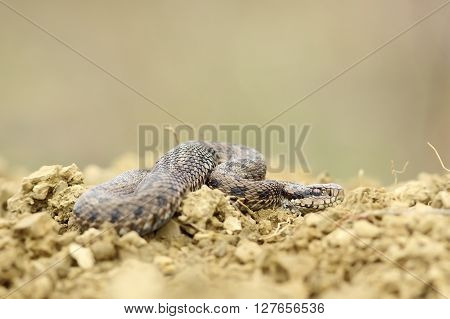 male hungarian meadow viper on the ground ( Vipera ursinii rakosiensis )