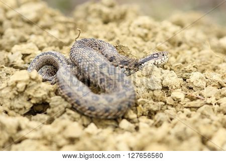meadow viper basking on ground ( Vipera ursinii rakosiensis )