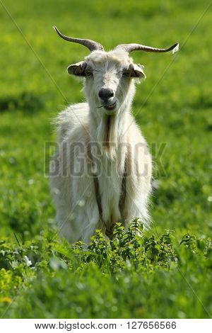 white male goat standing on green lawn looking towards the camera