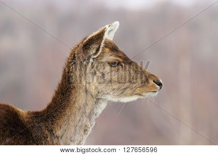 profile view of deer hind head portrait of fallow deer doe ( Dama dama )