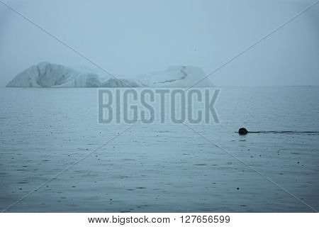 Swimming sea dog in front of iceberg in glacier lake Jökulsárlón in Iceland