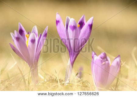 violet wild spring crocuses on mountain meadow ( Crocus sativus )