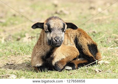 young lazy brown goat laying on green grass