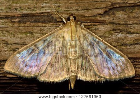Mother of Pearl (Pleuroptya ruralis) micro moth. Small insect in the family Crambidae known as the grass moths