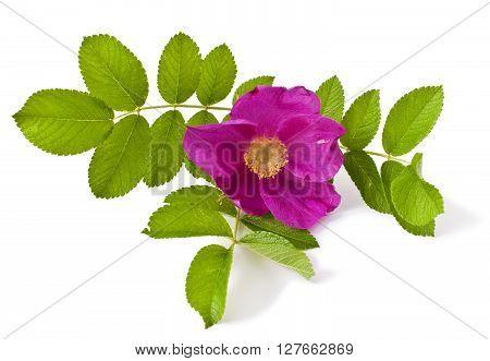 wild rose (Rosa canina) isolated on white background
