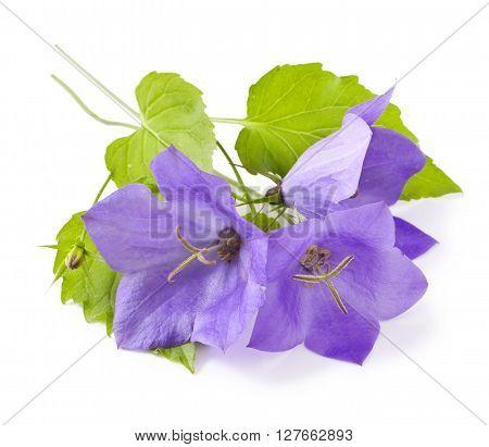 Blue flowers bellflowers on white background. Campanula