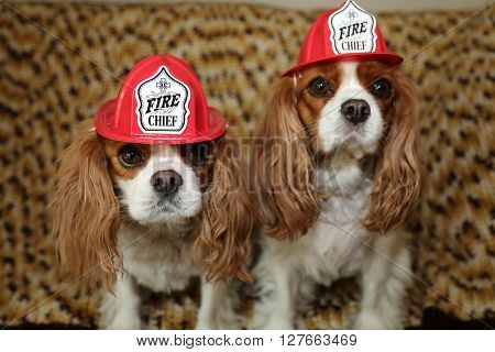 King Charles Spaniels wear their Fireman Hats for a Dog Fashion photo shoot