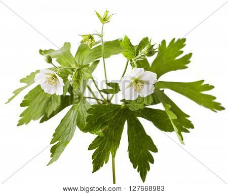 white geranium flower on a white background. Geranium clarkei