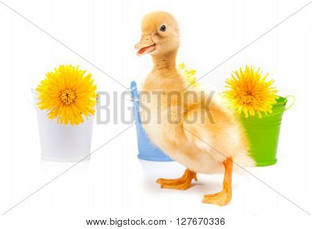 little duckling with dandelions on a white background