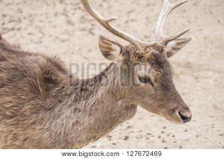 Dama dama Fallow deer, resting relaxed under the sun