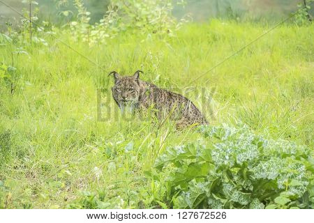 Lynx pardinus Iberian lynx, resting relaxed on the grass