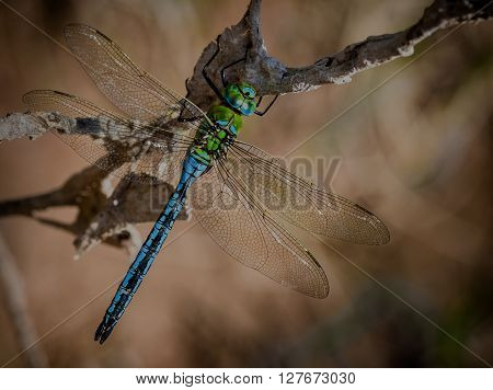 Emperor Dragonfly sat in the sun on a branch