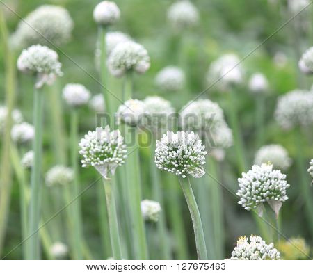 Beautiful flowers of garlic in summer, natural background