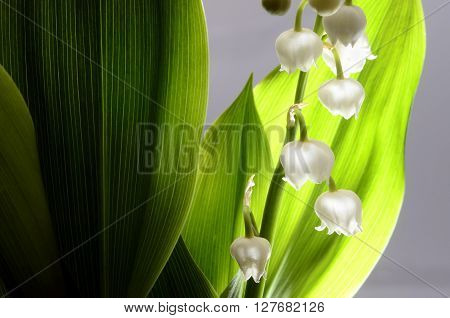 Close up Lily of the valley and green leaves