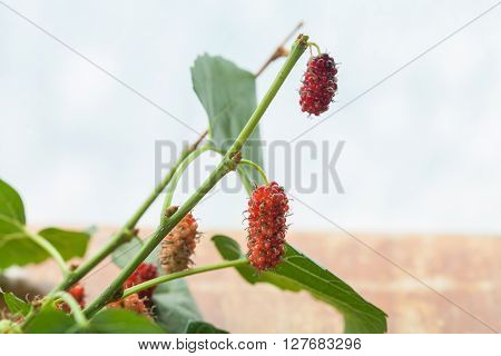 red mulberry isolated on a white background