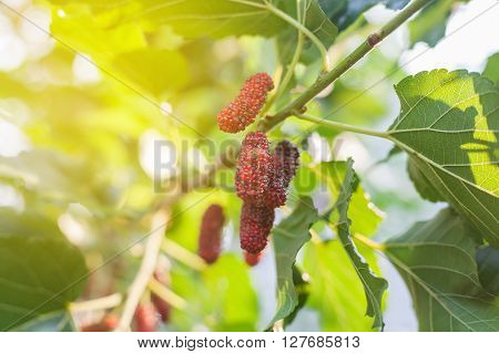 Mulberry fruit on tree Berry in nature selective focus.