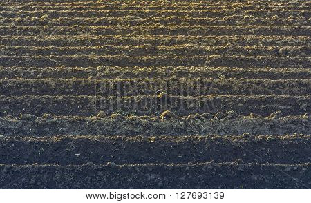Furrows rows pattern in a plowed field prepared for planting potatoes crops in spring.