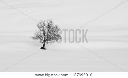 Solitary tree in winter landscape. Black tree silhouette contrasts with bright white snow.