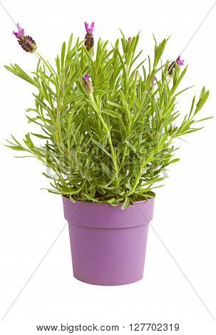 Lavander herb plant in a pot with few flowers