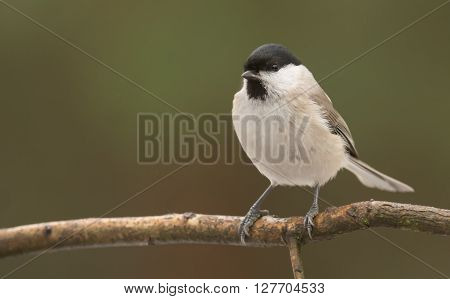 Marsh tit (Poecile palustris) in natural habitat