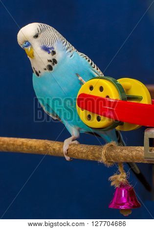 Blue wavy parrot plays with a toy