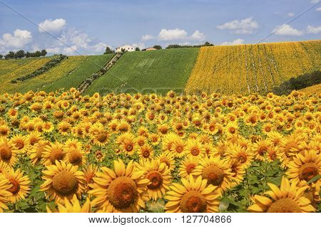 Country landscape in Marches (Italy) at summer: field of sunflowers