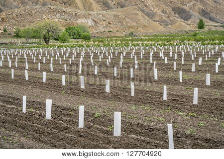young peach tree orchard in Palisade, peach capital of Colorado