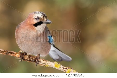 Jay Bird (garrulus Glandarius) In Morning Sun