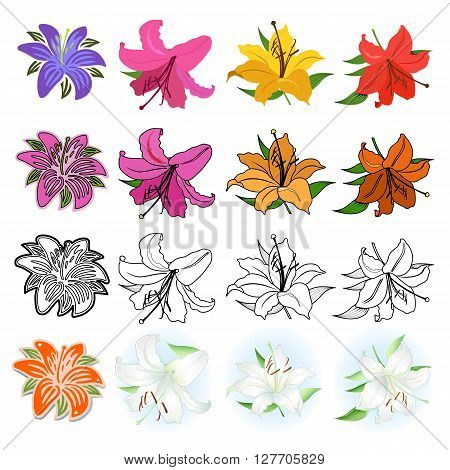 Lilies set black outline & colored different styles drawn; isolated on white background (vector illustration)