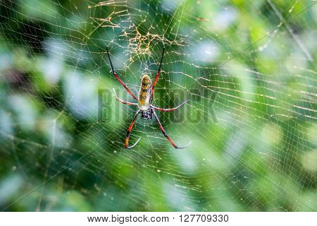 Female Golden Orb Spider In A Web In The Selati Game Reserve.