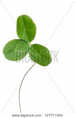 three-leaf clover for good luck isolated on white background