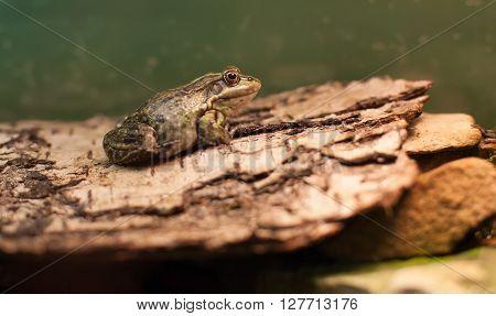 Frog Tropical Reptile Amasonia Jungles Animal