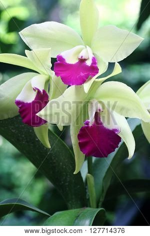 Green and pink orchid in full bloom