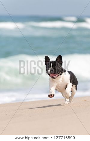 Adorable french bulldog running on the beach