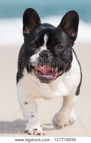 Adorable french bulldog running on the beach ** Note: Soft Focus at 100%, best at smaller sizes