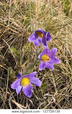 Pulsatilla Vulgaris Violet Wild Flower. Siberian spring snowdrops and primroses of Krasnoyarsk region.
