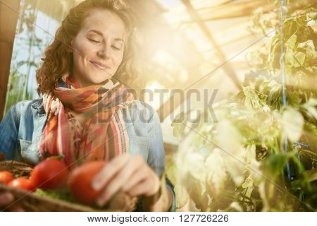 Female gardener tending to organic crops and picking up a bountiful basket full of fresh produce