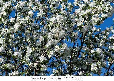 apple tree in white blossom in the spring month of April Ukraine