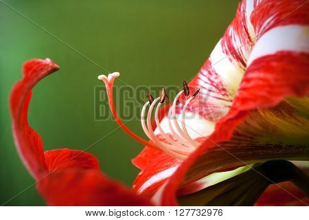 Close-up amaryllis flower with pistils and stamens on green background
