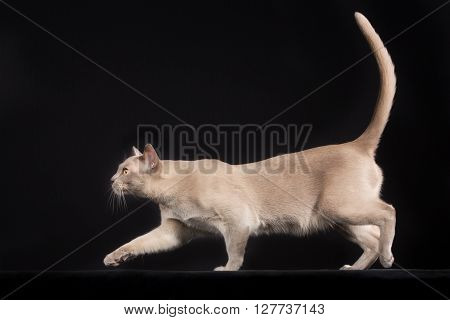 Purebred Cat Isolated On Black Background
